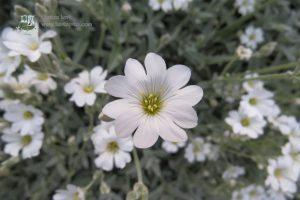 Virágos növények